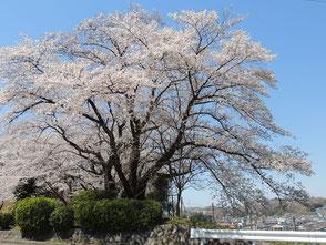 聖蹟桜ヶ丘の桜-2 ◆模型製作工房 聖蹟