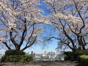 聖蹟桜ヶ丘の桜-1 ◆模型製作工房 聖蹟