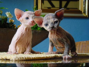WELCOME to - Amour Sphynx Kittens for sale