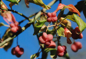 Pfaffenhut, Pflanze