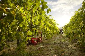De wijngaarden in de Gallura