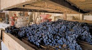 Het drogen van de druiven op stromatten.