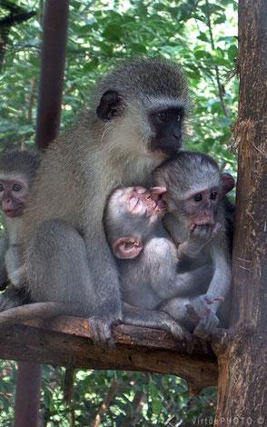 Familie aapjes past op elkaar, erg sociaal