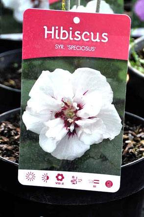 Hibiscus à livrer