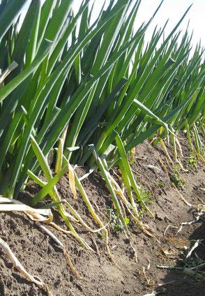 有機農業の畑で栽培される長ネギの写真