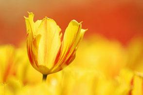 Fotos von Tulpen / Photos of tulips
