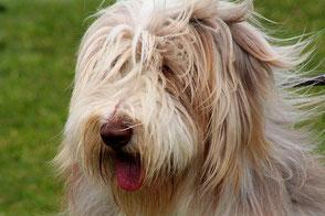 Kopf Bearded Collie