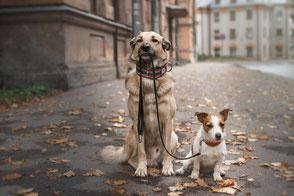Retriever hält Jack Russell Terrier an der Leine