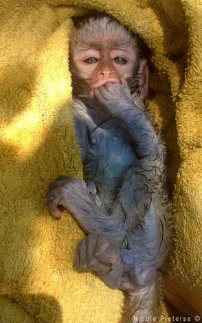 Monkey after bath