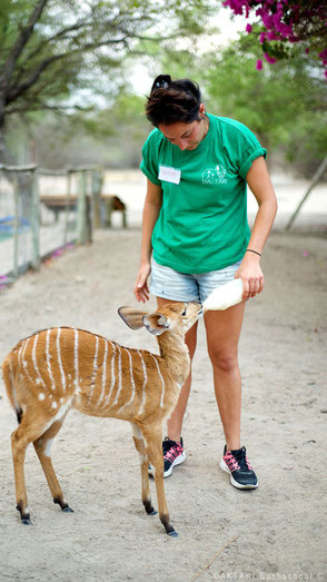Feeding baby nyala in South Africa