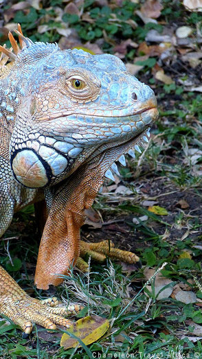 Iguana in reptile centre South Africa