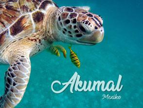 Mit großen Meeresschildkröten schwimmen