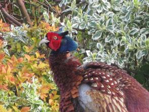 Pheasant who visits each morning