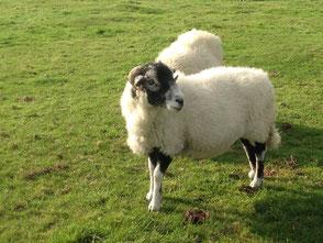 double ewe, double ewe