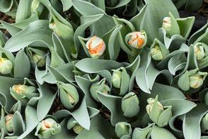 Tulpensetzlinge und weitere Topfpflanzen zum Verkauf in der Gärtnerei UPD.