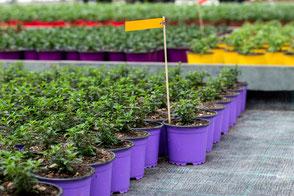 Setzlinge zum Verkauf von der Gartengruppe. Anpflanzen von Setzlingen wie Kräuter und Blumen.