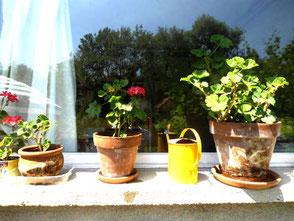 Geranien vor meinem Atelierfenster