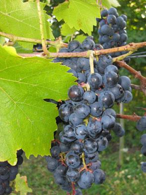 Die Winzlinge | Weintrauben Dornfelder