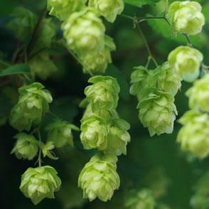 jura - brasserie - bière - houblon - hops - le lombard bar