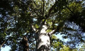 Kauri Baum aus Neuseeland