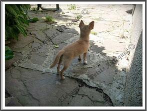 chien chihuahua, le petit fennec