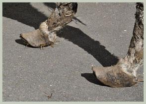 Doorgegroeide pantoffelhoef (Foto: De Ezeloase)