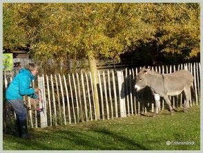 Ook om te halsteren laten we de ezel naar ons toekomen.