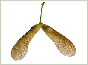 Oktober: rijpe zaden van de esdoorn