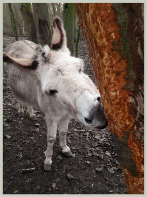 Ezels zijn gek op boomschors. Eenmaal de schors rondom verwijderd is, sterft de boom af.