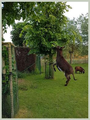 Bescherm de boomstammen met gaas. Zo voorkom je dat de ezel er aan knaagt.