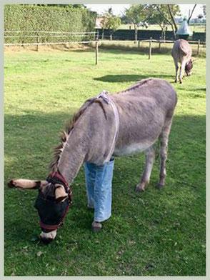 Van een oude broek werden beenbeschermers gemaakt. Hoelang de ezel ze zal aanhouden is dan weer een ander probleem!