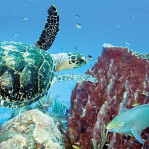 Koralle, Guadeloupe, Karibik, Karibische Inseln