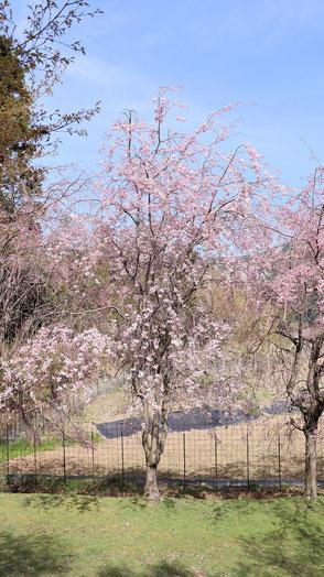 正面から見るしだれ桜写真フリー素材 Weeping cherry tree seen from the front Photo free material