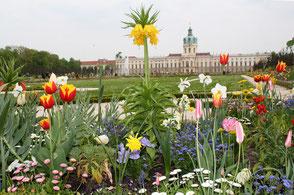 Frühlingsblumen im Barockgarten, Blick auf das Schloss Charlottenburg. Foto: Helga Karl