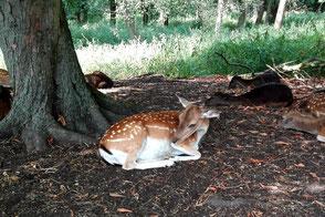 Ruhendes Damwild unter Bäumen im Botanischen Volkspark Pankow. Foto: Helga Karl