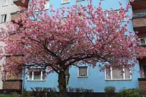 Blühender Japanischer Kirsch-Baum in Berlin Schöneberg vor blauem Wohnblock. Foto: Helga Karl