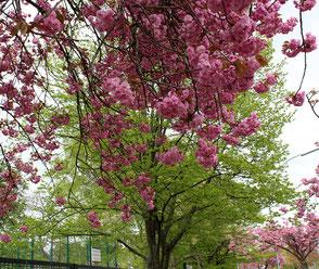 Blühender Japanischer Kirschbaum in Berlin. Foto: Helga Karl am 14.4.2017
