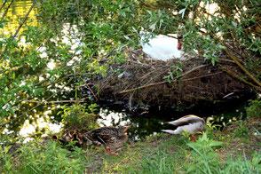 Entenpaar mit Küken gehen am Nest am Ufer mit brütendem Schwan vorbei. Foto: Helga Karl