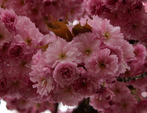 Dolden mit intensiv-rosa Blüten der Japanischen Kirschbäume in Berlin-Schöneberg. Foto: Helga Karl