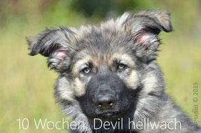 Devil mit 10 Wochen