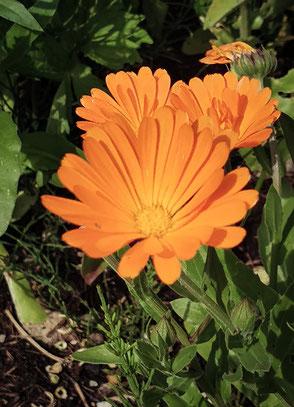 Ein Farbenklecks - die Ringelblume