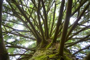 Baum im Reinhardswald