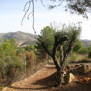 Uitrusten rondom de Finca olijfbomen vijgen kippen