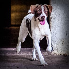 Link zur Hundevermittlung, Hündin Rosa, braun-weiß, kurzhaar, läuft vom Hundehaus in den Auslauf Tierheims Immenstadt.