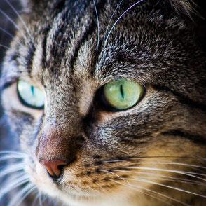 Link zur Katzenvermittlung, Gesicht von Kater Henry, Tigerkatze mit grünen Augen, Tierheim Immenstadt