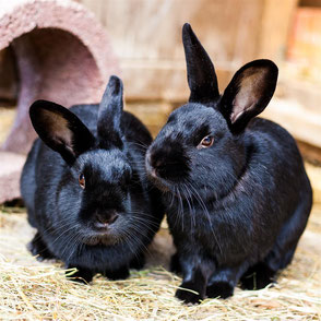Link zur Kleintiervermittlung. Zwei schwarze Stallhasen-Kaninchen-Mix, Manfred und Eberhard, im Außengehege des Tierheims Immenstadt