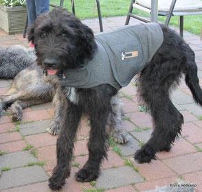 Mutter Irish Wolfhound x Vater Großpudel - Artlaender Wolfspudel