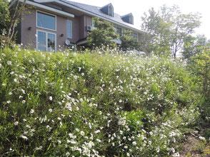 6/10撮影。マーガレットが一斉に咲いています。