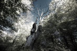 knorrige Eiche im Urwald Sababurg / Reinhardswald