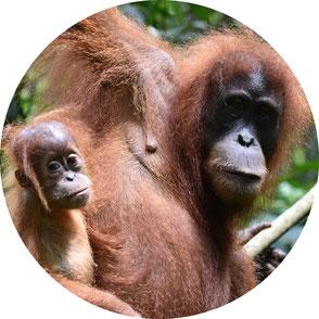 orang-utans-bukit-lawang-sumatra